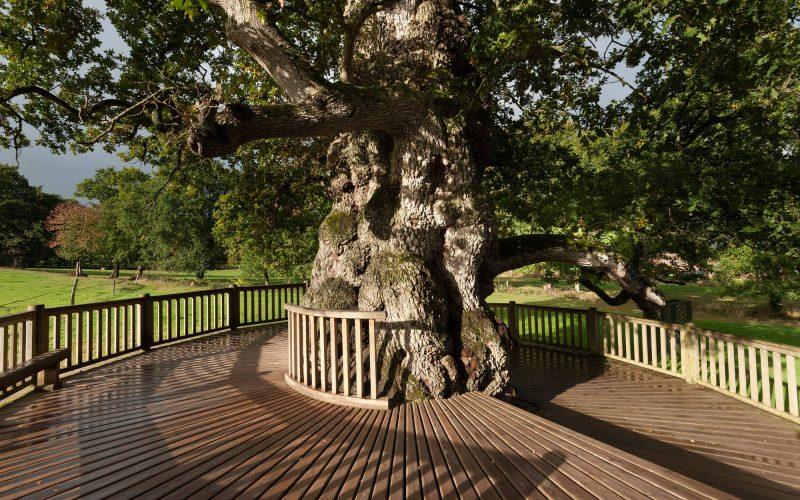 Le chêne à guillottin, un arbre remarquable en forêt de Brocéliande © Emmanuel BERTHIER