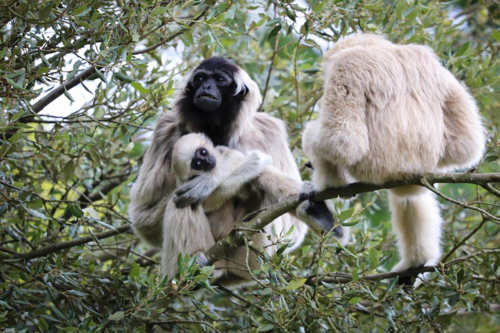 Gibbons à branféré © A. Chevillot