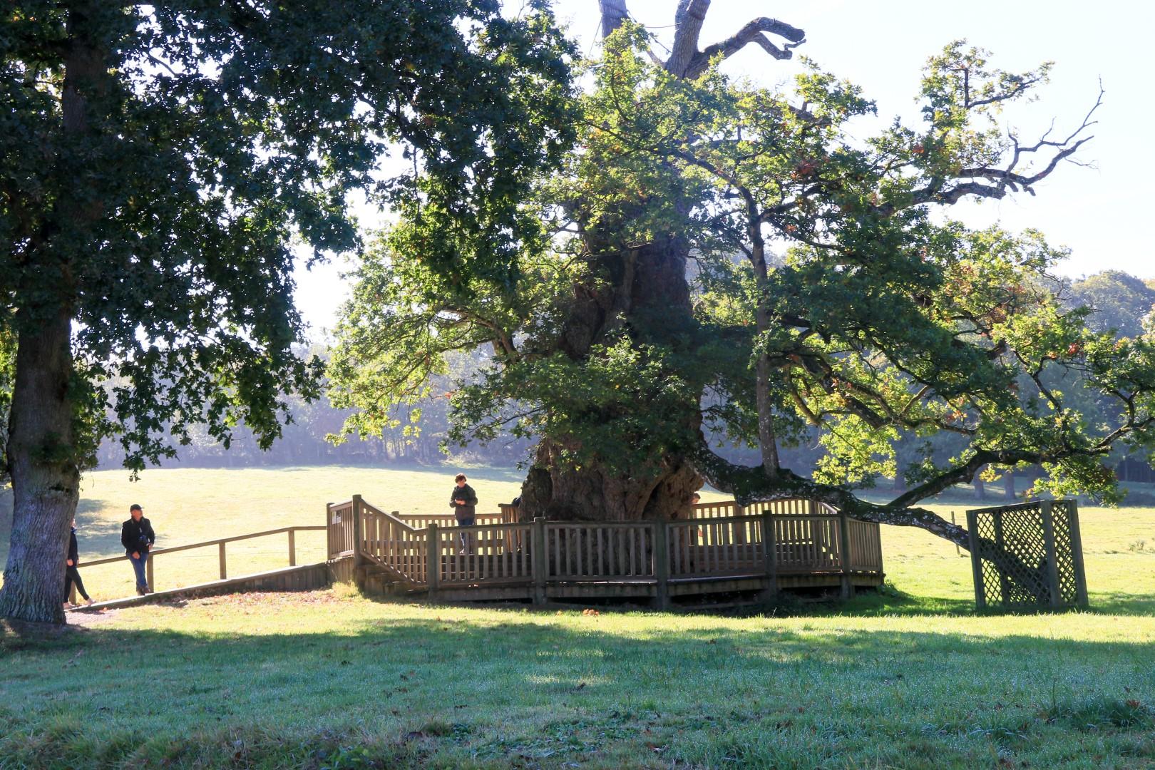 Chêne à Guillotin © L. Kersuzan - Morbihan Tourisme
